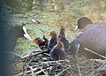 Fulica atra - Blässhuhn - Eurasian Coot - Family1.jpg