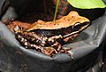 Fungoid Frog Hylarana malabarica by Dr. Raju Kasambe DSCN6578 (4).jpg