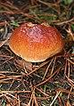 Fungus - geograph.org.uk - 260658.jpg