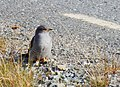 Gök Common Cuckoo (19727845694).jpg