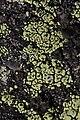 Göteborg 10.08.2017 Rhizocarpon lecanorinum (36975335720).jpg
