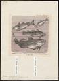 Gadus morrhua - 1700-1880 - Print - Iconographia Zoologica - Special Collections University of Amsterdam - UBA01 IZ14000085.tif