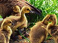 Gaggle of Goslings (5831271570).jpg