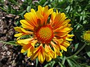 Gaillardia x grandiflora 'Oranges and Lemons' in NH