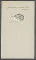 Gammarus ornatus - - Print - Iconographia Zoologica - Special Collections University of Amsterdam - UBAINV0274 098 02 0010.tif