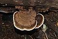 Ganoderma sp 8116.jpg