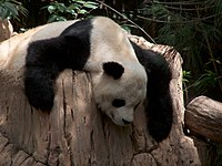 Gao Gao, do zoológico de San Diego.