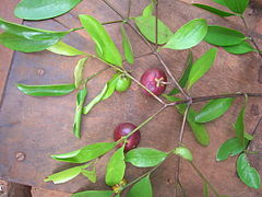 Garcinia indica - fruits and leaves.jpg