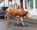 Garmisch-Partenkirchen - cow 2.jpg