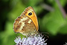 Gatekeeper butterfly (Pyronia tithonus) female underside.jpg