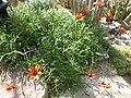 Gazania krebsiana (Compositae) plant.jpg