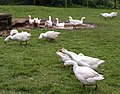 Geese, Elberry Farm - geograph.org.uk - 918194.jpg