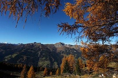Gefärbte Zirben im Herbst am Saukar.jpg