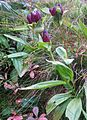 Gentiana purpurea gaustad IMG 0420.JPG