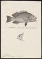 Genyoroge rivulata - - Print - Iconographia Zoologica - Special Collections University of Amsterdam - UBA01 IZ12900283.tif