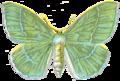 Geometra Papilionaria.PNG