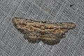 Geometridae (15029526058).jpg