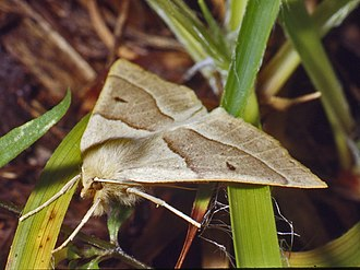 Scalloped oak - Lateral view