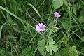 Geranium-pyrenaicum-flowers.jpg