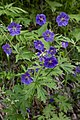 Geranium erianthum (Geraniaceae) (36139680415).jpg
