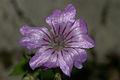 Geranium nodosum PID941-2.jpg