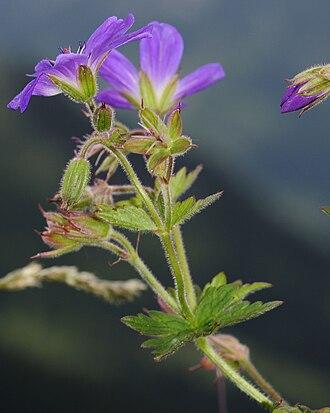 Geranium sylvaticum - Image: Geranium sylvaticum (1)
