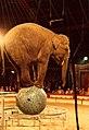 German circus elephant.jpg