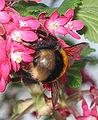 Gewone aardhommel koningin op Ribes sanguineum (Bombus terrestris) 4.jpg