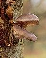 Gewone oesterzwam (Pleurotus ostreatus) 31-12-2020 (d.j.b.) 03.jpg