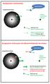Gezeitenkraft Inertialsystem Koerpersystem.png