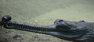 Gharial - Male gharial at the Madras Crocodile Bank Trust
