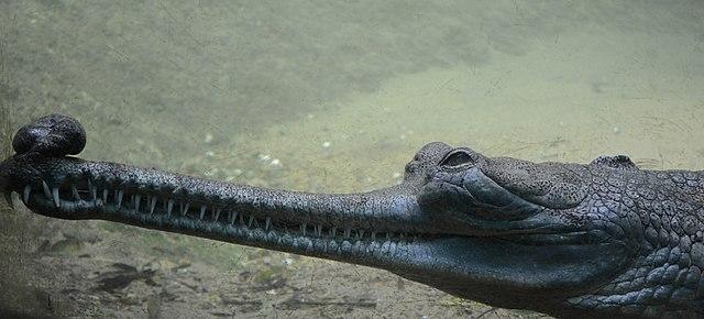 Male Gharial at Madras crocodile bank trust. By Nireekshit