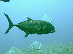 Giant trevally - Profile of an adult giant trevally