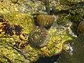 Gibbula sp fnb.jpg