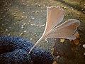 Ginkgo biloba (Parque Quevedo).001 - Leon.jpg