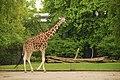 Giraffa at Berlin zoo (2483075606).jpg