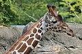 Giraffe (15088839760).jpg