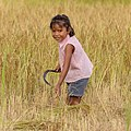 Girl with a sickle harvesting rice in Laos.jpg