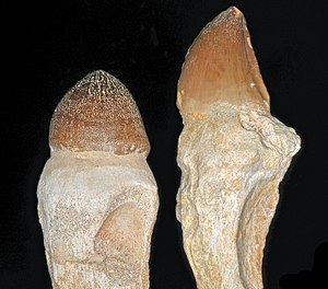 Igdamanosaurus - A side-by-side comparison of the rounded and knob-like tooth of Igdamanosaurus aegyptiacus (left) and the still robust, but considerably more blade-like, tooth of Mosasaurus beaugei (right).