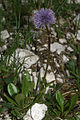 Globularia nudicaulis PID841-1.jpg