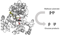 Ribbon diagram of glycosidase with an arrow showing the cleavage of the maltose sugar substrate into two glucose products.