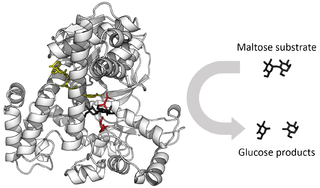Enzyme Large biological molecule that acts as a catalyst