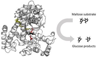 Enzyme - Image: Glucosidase enzyme