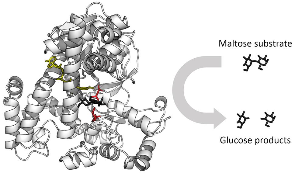 Glucosidase enzyme