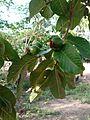 Goiaba fruto 6.jpg