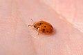 Golden Tortoise Beetle (Charidotella sexpunctata) (14414446562).jpg