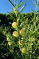 Gomphocarpus physocarpus kz1.jpg