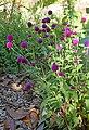 Gomphrena globosa in Jardin botanique de la Charme 02.jpg
