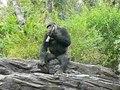 File:Gorilla gorilla gorilla1.ogv