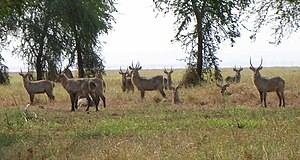 Gorongosa National Park - Waterbucks